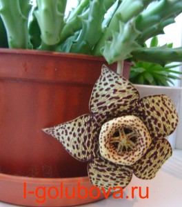 стапелия variegata