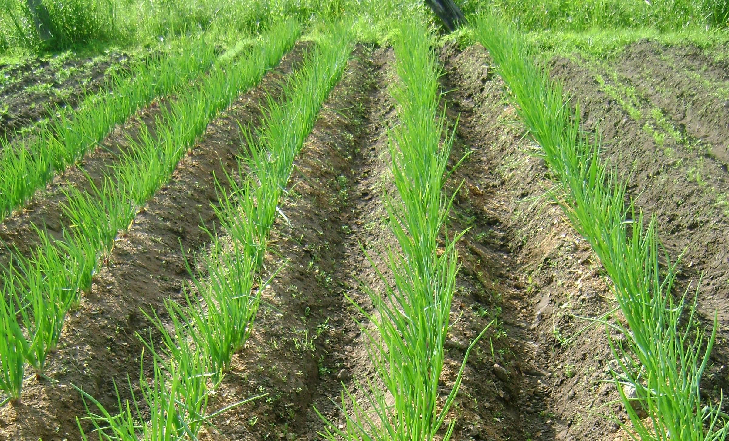 Выращивание семейного лука, крупный семейный лук, резка 32