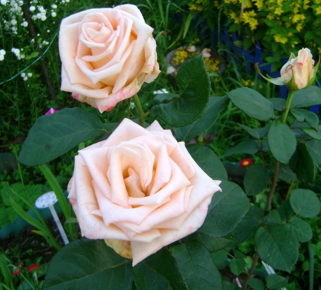 Фото цветы розы растущие в