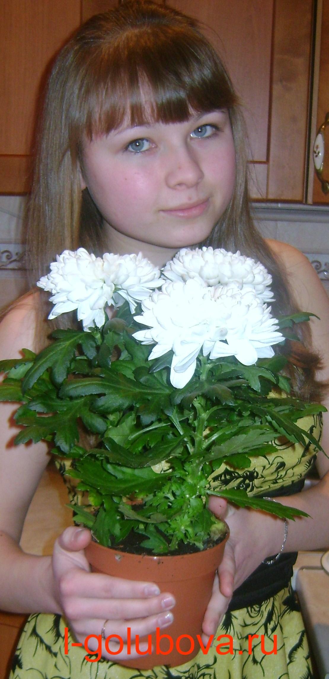 хризантемы в горшках