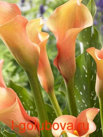 Калла цветки срезать