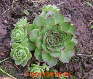 молодило-цветок