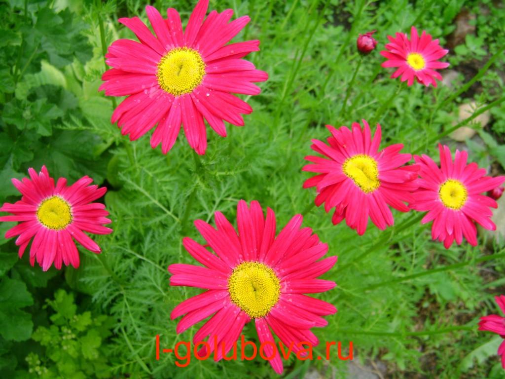 Цветы садовые фото и названием похожи на ромашку