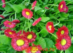 цветущие маргаритки