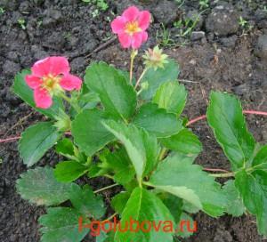 клубника с ярко-розовыми цветками
