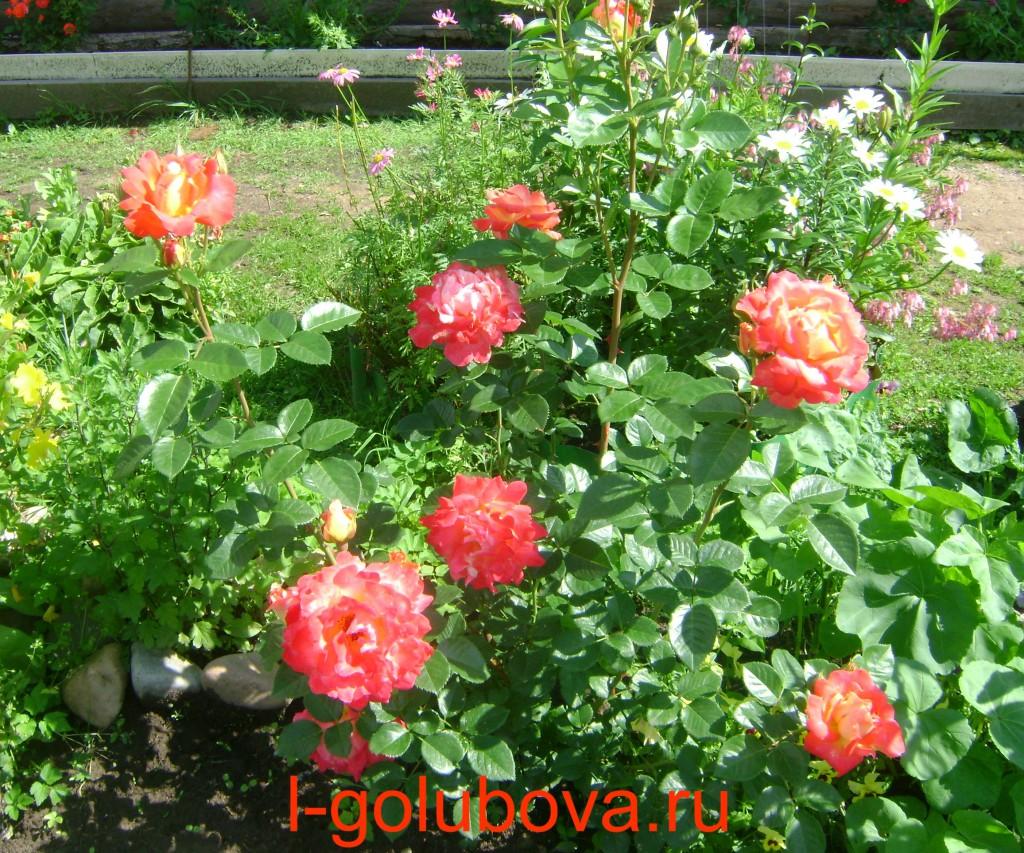 Плетистая роза арлекин фото 2