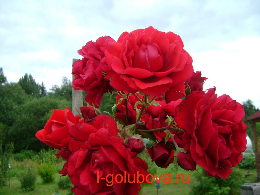 плетистая роза Колет