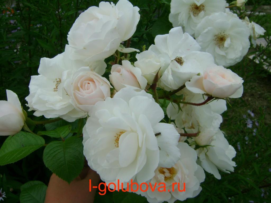 плетистая роза Монд Жарден