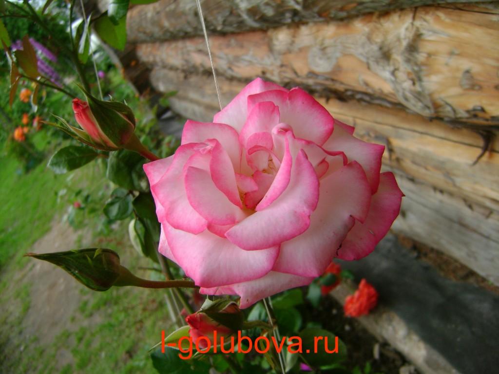 роза с розовым кончиком