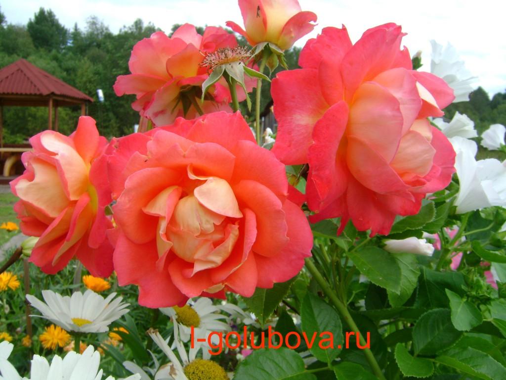 садовая роза Арлекин