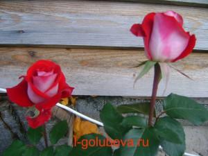 ч/г роза Николь