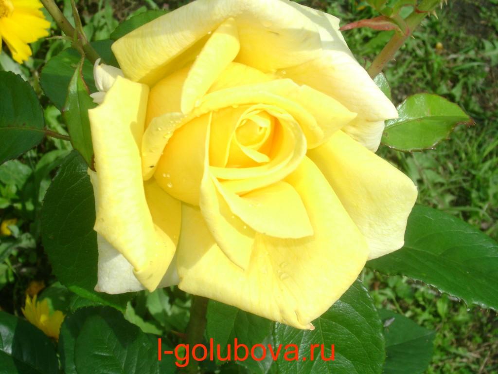 роза ч/г
