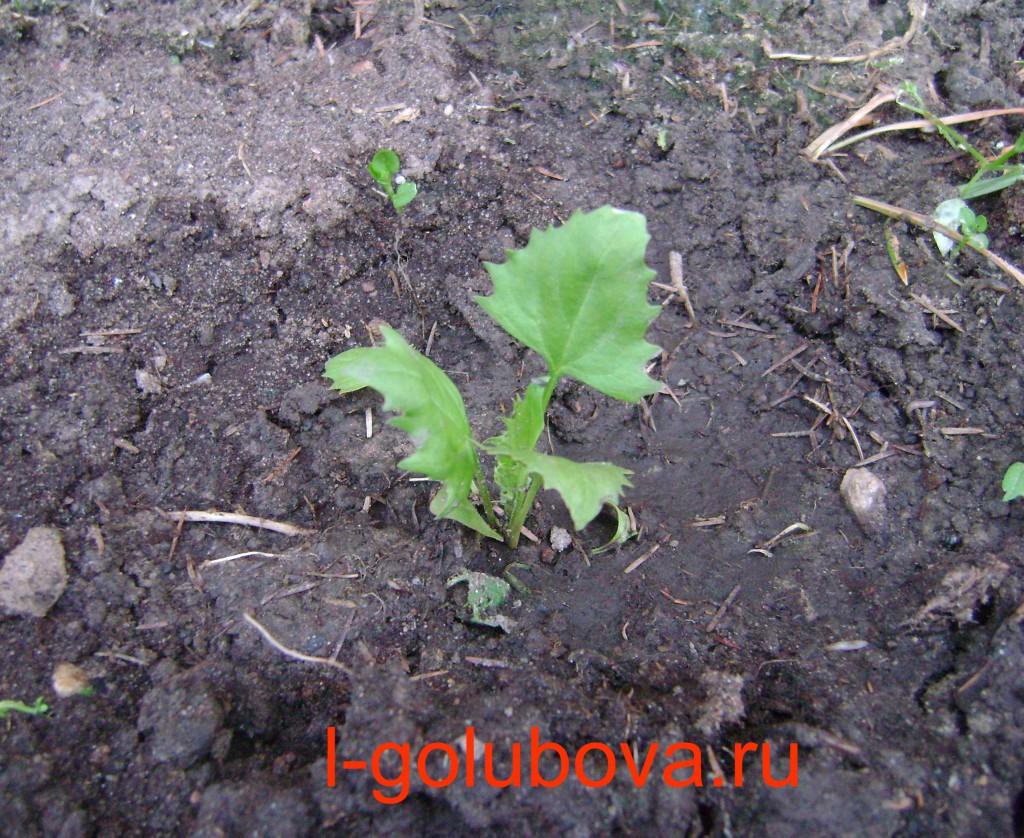 Шпинат земляничный фото выращивание