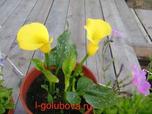 калла желтый уголок