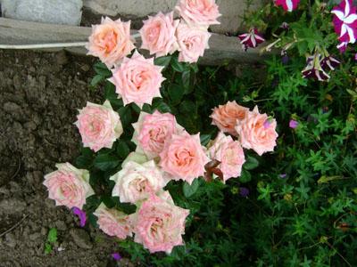 укорененные розы